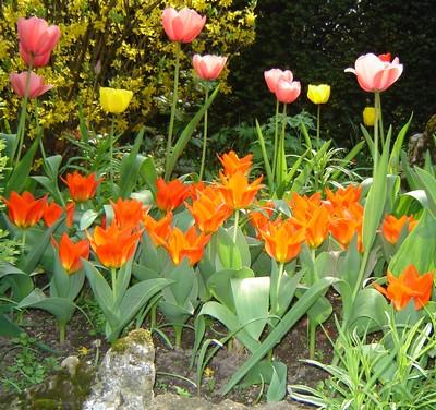 tulipes-3.jpg